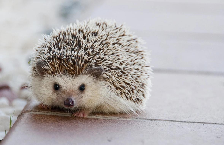 bodlinatý ježek